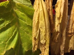 Bright Virginia tobacco color curing